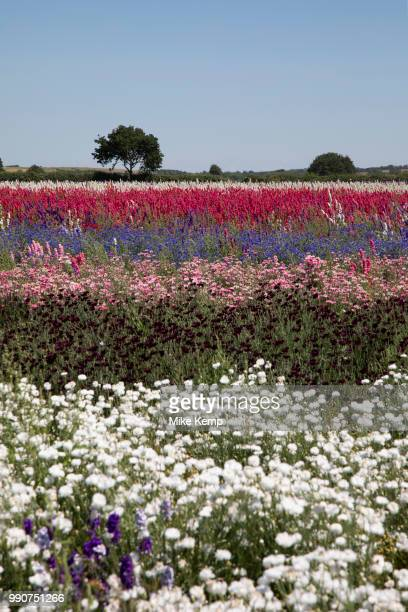 Acres of delphiniums and cornflowers in bloom on the Wyke Manor Estate in Worcestershire on 3rd July 2018 in Wick, near Pershore, United Kingdom. The...