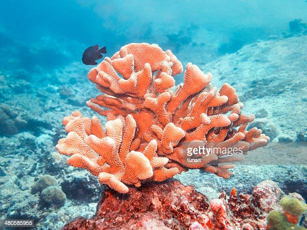 acropora - coral stock pictures, royalty-free photos & images