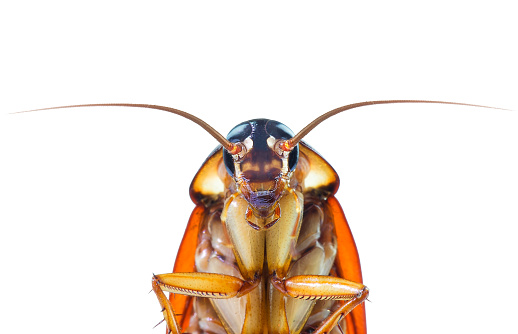 action image of Cockroaches, Cockroaches isolated on white background 1052951952