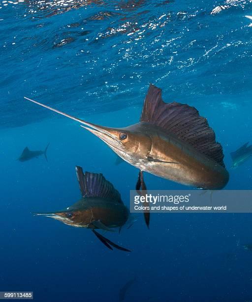 action shot of hunting sailfish - sailfish stock pictures, royalty-free photos & images