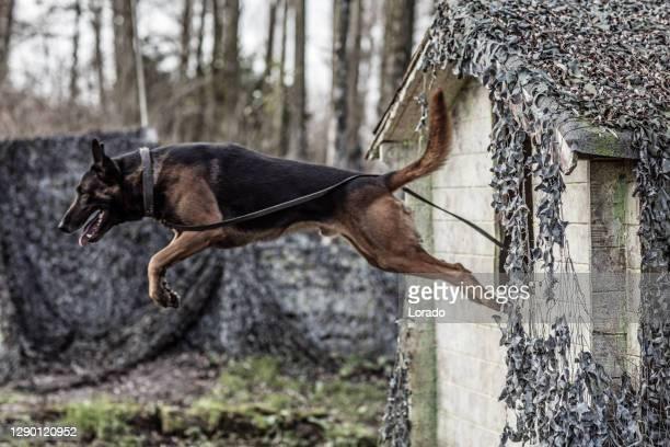 軍事施設における血統純粋品種犬のアクションショット - 働く動物 ストックフォトと画像
