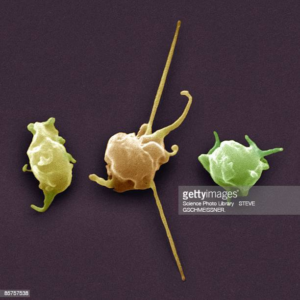 activated platelets, colored scanning electron micrograph (sem) - blood clot stock pictures, royalty-free photos & images