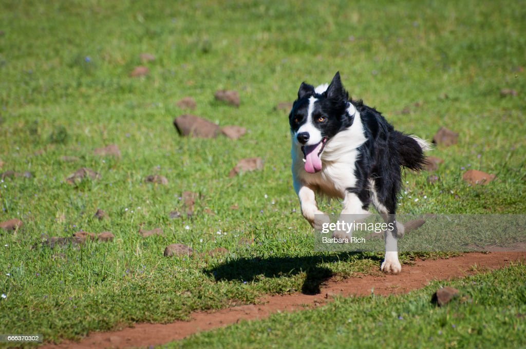 Active Border Collie running across field : Stock Photo