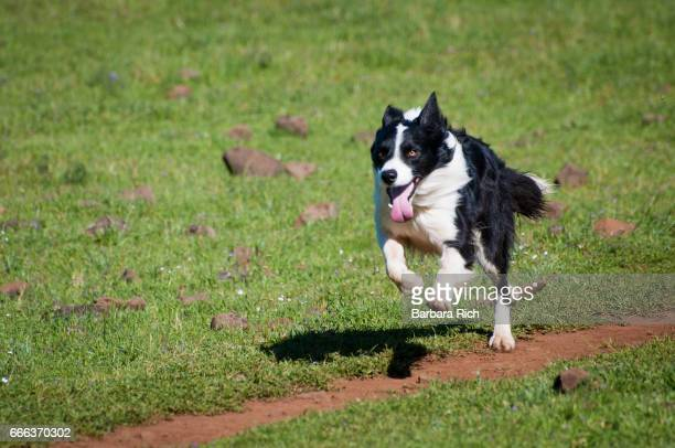 active border collie running across field - collie stock photos and pictures