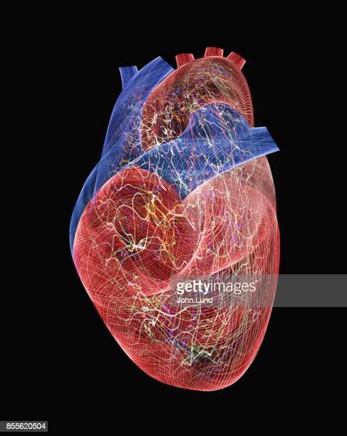 Active Human Heart