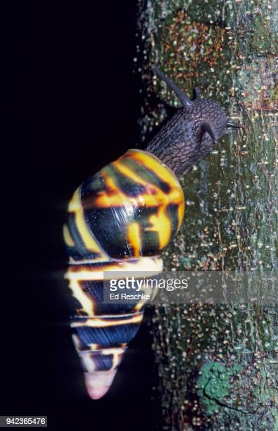 active liguus tree snail (liguus fasciatus) a rare snail in the everglades national park, florida - ed reschke photography stock photos and pictures