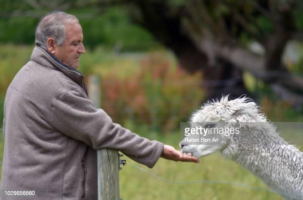 active senior man feeding a lama - rafael ben ari bildbanksfoton och bilder