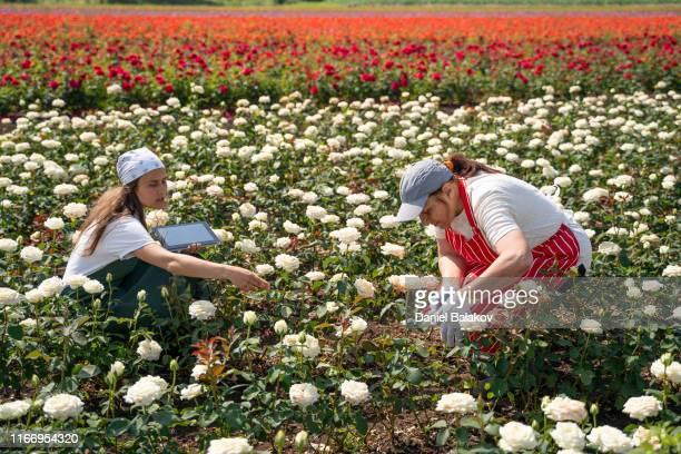 aktive senioren, die mit der jüngeren generation in den rosenfeldern arbeiten. die fülle der dekorativen rose ist in ihrem höhepunkt. - rosenfarben stock-fotos und bilder