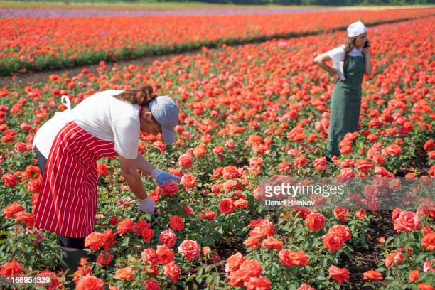 active seniors working with the younger generation in the rose fields. the abundance of the decorative rose is in its peak. - rose colored stock pictures, royalty-free photos & images