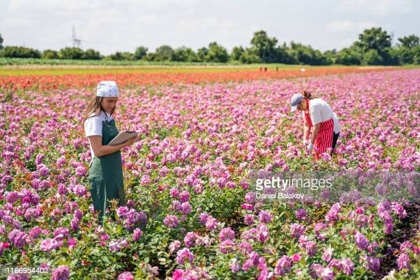 active seniors working with the younger generation in the rose fields. the abundance of the decorative rose is in its peak. - bulgaria foto e immagini stock