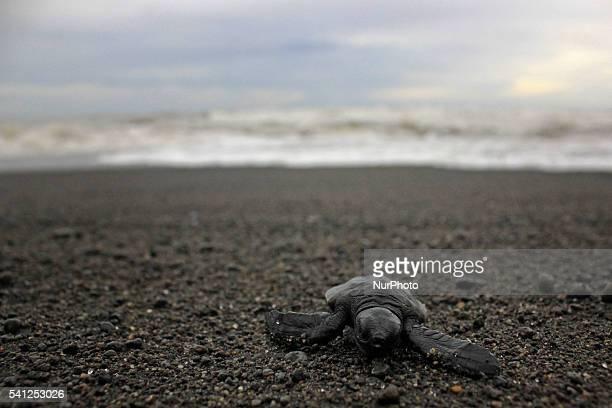 Activists release the baby leatherback sea turtles into the wild at Samas Beach Yogyakarta Indonesia on June 19 2016 Dozens of leatherback sea...