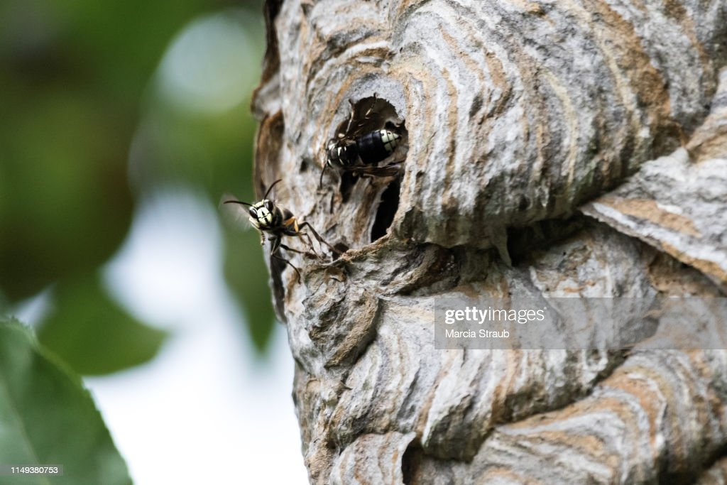 Activity At A Hornets Nest High Res Stock Photo Getty Images