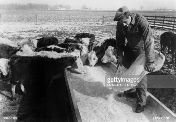 Actor James Dean feeds the calves on farm where he grew up that is owned by his Uncle and Aunt circa 1955 in Fairmount Indiana Dean lived here from...