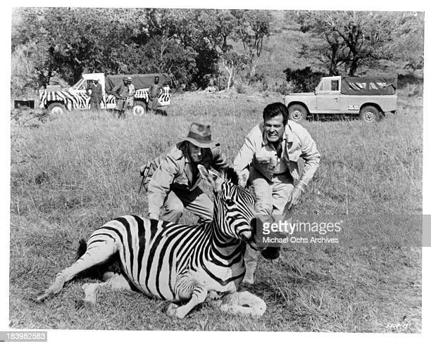 Actor Robert Culp and a zebra on the set of the movie Rhino in 1964