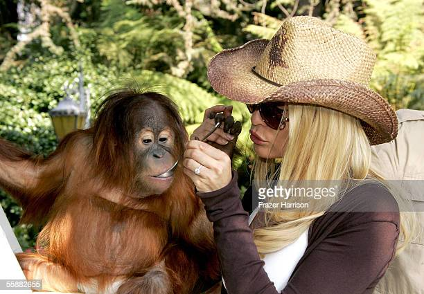 Actress Nicollette Sheridan feeds an orangutan during the 11th Annual Safari Brunch a fundraiser for the Wildlife Waystation held at the Playboy...