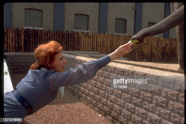 Actress Pat Phoenix feeding an elephant as her character Elsie Howard in television soap Coronation Street, circa 1980.