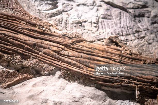 Actual fossil of a Zuul crurivastator dinosaur Close up of the tailbone The extinct animal was an armoured herbivorous dinosaur It is in exhibit at...