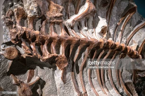 Actual fossil of a Zuul crurivastator dinosaur Ribs attached to the spine The extinct animal was an armoured herbivorous dinosaur It is in exhibit at...
