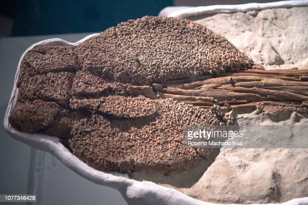 Actual fossil of a Zuul crurivastator dinosaur Tail club The extinct animal was an armoured herbivorous dinosaur It is in exhibit at the Royal...