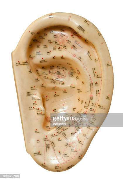 Acupuncture Ear Model on White