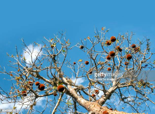 Adansonia, Baobab Tree and fruit, Madagascar