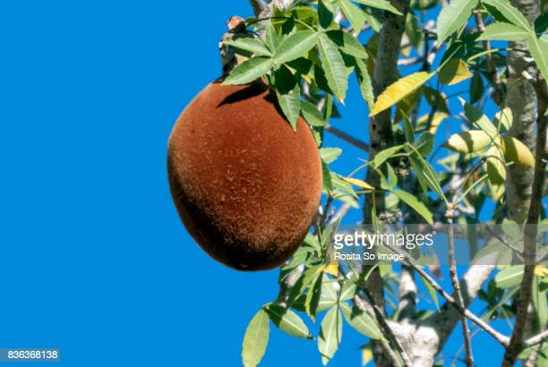 Adansonia or Baobab Tree and fruit, Madagascar