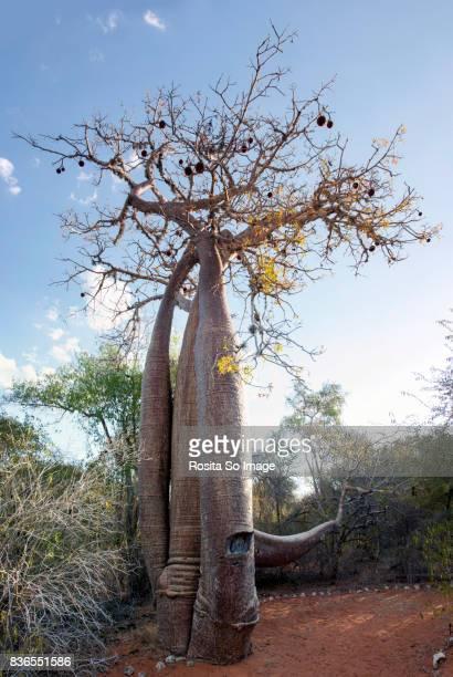 Adansonia or Baobab Tree, Madagascar