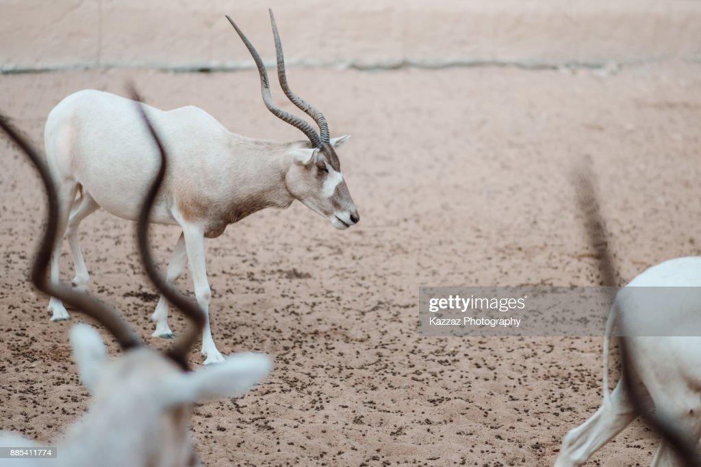 blonde-antelope-video