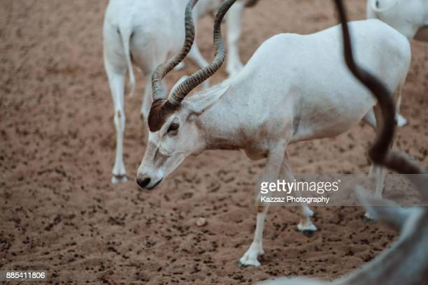 Addax also known as the white antelope