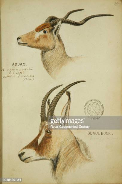 Addax and Blaue bock From a book of watercolour sketches by John Hanning Speke and James Augustus Grant of buck and other fauna seen in Africa circa...
