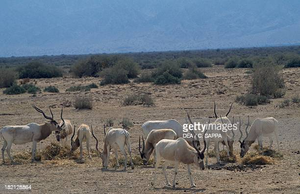 Addax white antelope or screwhorn antelope Bovids Yotvata HaiBar Nature Reserve Israel