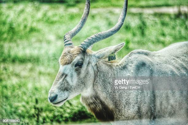 Addax With Livestock Tag On Field