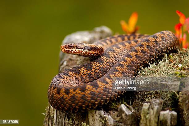 Adder, common viper, vipera berus, close-up