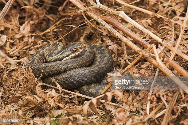 Adder, Vipera berus coiled in bracken