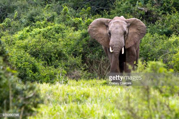 addo elephant - desert elephant stock pictures, royalty-free photos & images