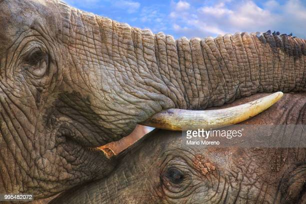 addo love - tusk stock pictures, royalty-free photos & images