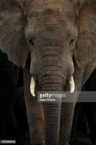 addo portrait - elephant face stock photos and pictures