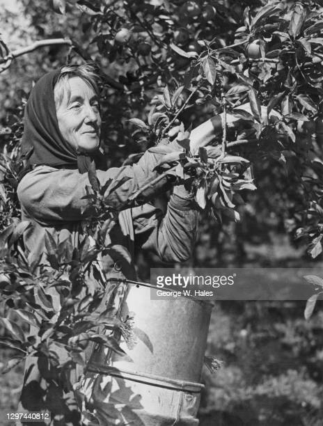 Adelaide Wright a member of the Women's Land Army picking the apple crop on 14th September 1942 on Lathcoats Farm in Galleywood, Essex, United...