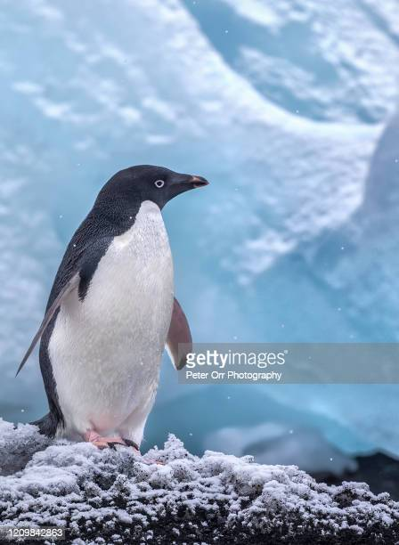 adele penguin in antarctica - adelie penguin stock pictures, royalty-free photos & images