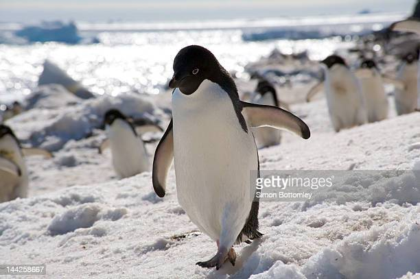 adele penguin - adelie penguin stock pictures, royalty-free photos & images