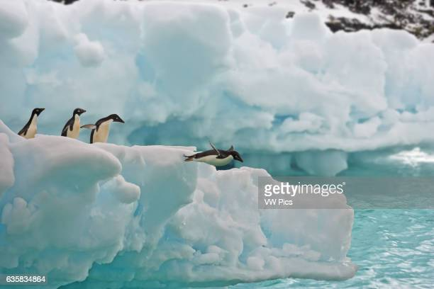 Adele penguins jumping from ice floe in the South Orkney Islands, Antarctica.