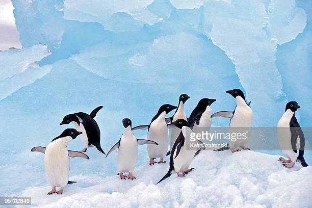 adele penguins on ice - pinguïn stockfoto's en -beelden