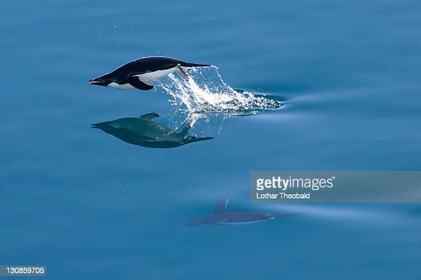 adelie penguin (pygoscelis adeliae), antarctic sound, antarctica - antarctic sound stockfoto's en -beelden