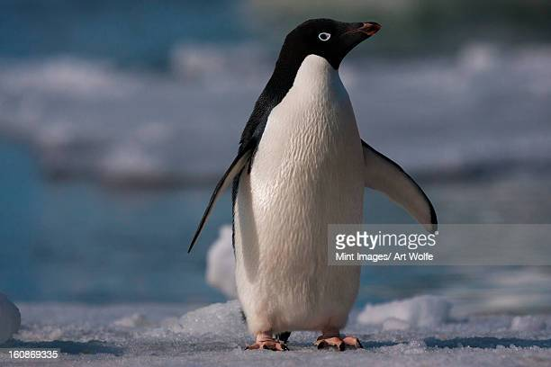 adelie penguin, antarctica - adelie penguin stock pictures, royalty-free photos & images