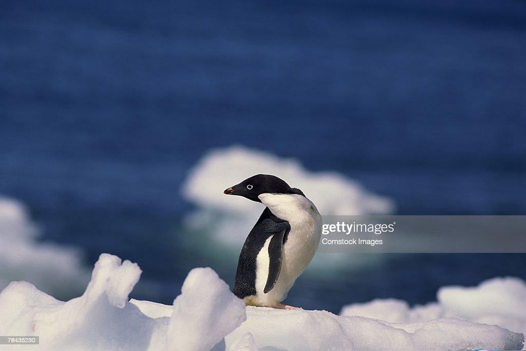 Adelie penguin , Antarctica : Stockfoto