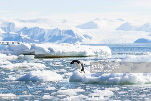 Adelie Penguin at Cape Adare