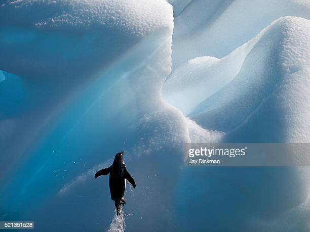 adelie penguin below iceberg - drake passage stock photos and pictures
