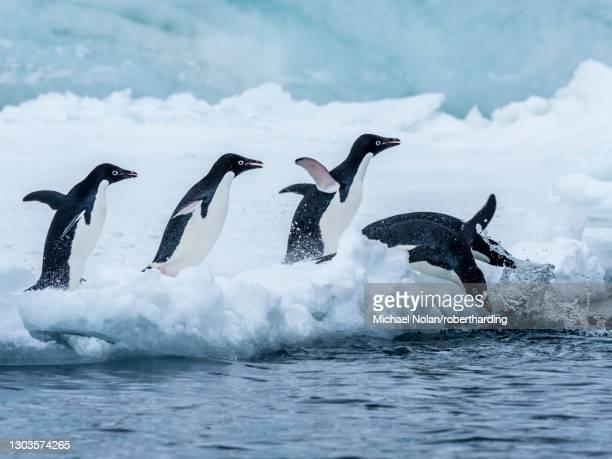 adelie penguin (pygoscelis adeliae), breeding colony at brown bluff, antarctic sound, antarctica, polar regions - antarctic sound stockfoto's en -beelden