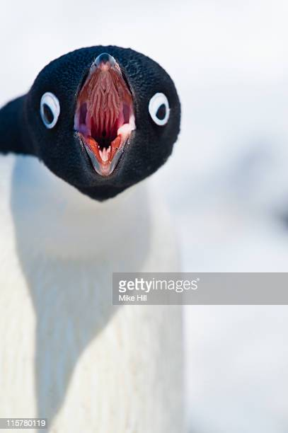 adelie penguin calling, south shetland islands - beak stock pictures, royalty-free photos & images