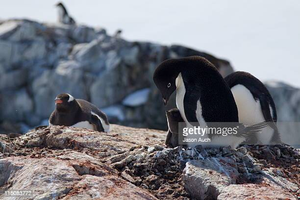 adelie penguin feeding her chick - adelie penguin stock pictures, royalty-free photos & images